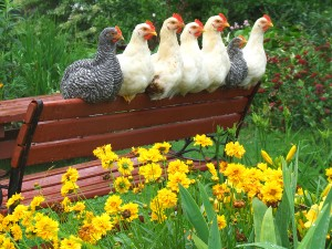All About Raising Backyard Chickens – poultryOne Guide to