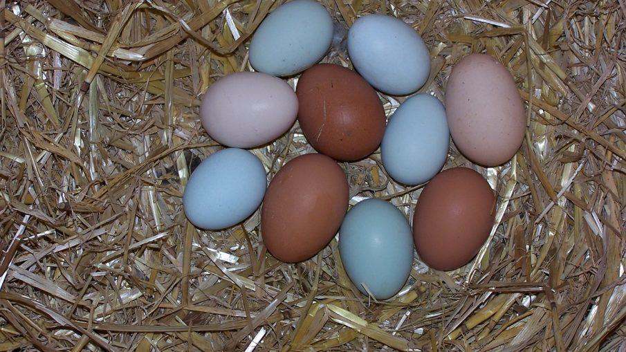 Storeys Guide To Raising Chickens Pdf