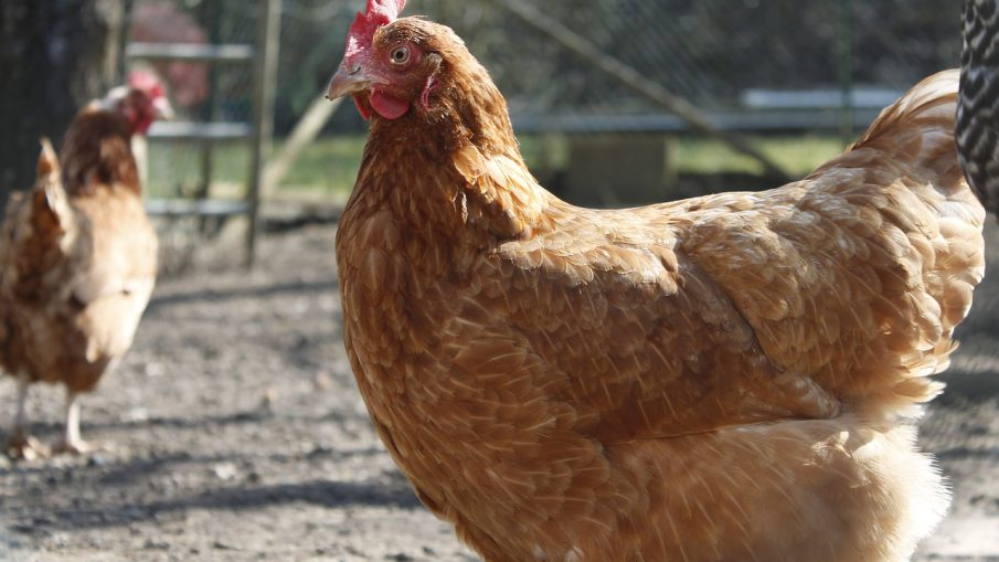 Evaluating Egg Laying Hens Poultryone